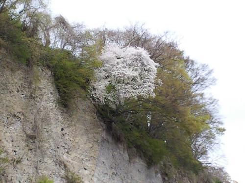 崖の上の桜(26.4.30)