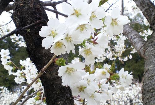 ウスズミ桜(26.5.1)