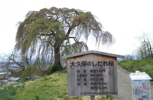 大久保のしだれ桜(26.5.1)