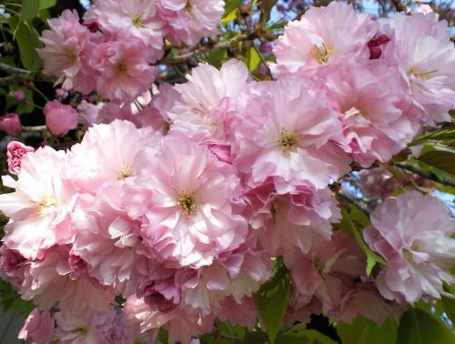 八重桜アップ(26.5.2)