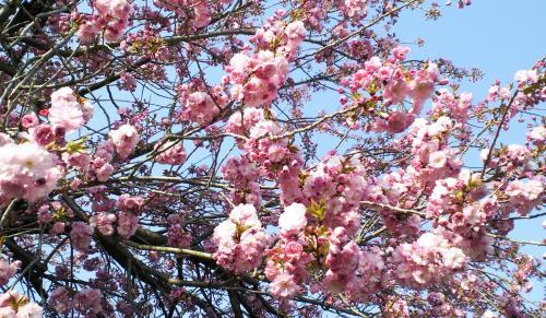 うちの八重桜(26.5.2)