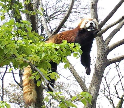 樹の上でお昼寝(26.5.4)