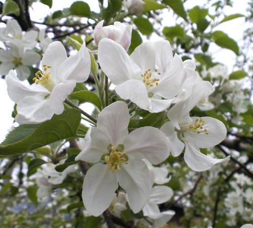 リンゴの花アップ(26.5.5)