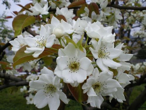 和梨の花(26.5.5)