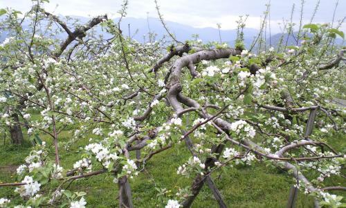 リンゴの花が満開(26.5.5)