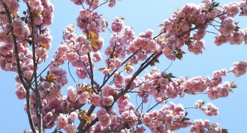 八重桜アップ(26.5.7)
