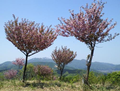 千本八重桜①(26.5.7)