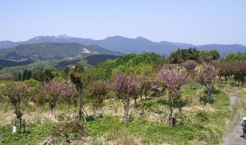 千本八重桜②(26.5.7)