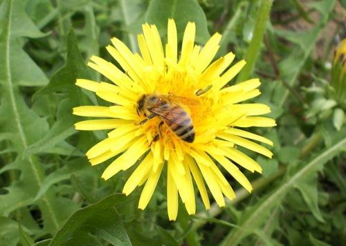 タンポポに蜜蜂(26.5.14)