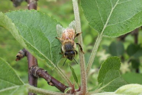 リンゴの葉に蜜蜂(26.5.14)