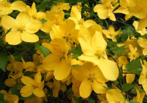 ヤマブキの花(26.5.16)