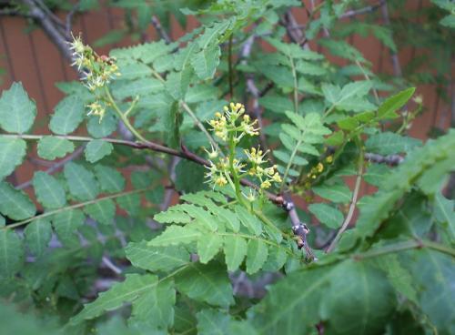 山椒の花(26.5.17)