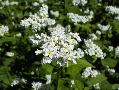 そばの花(26.9.13)