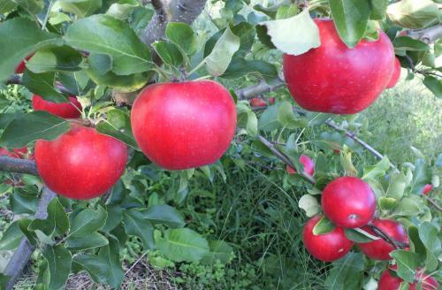 真っ赤なリンゴ(26.9.17)