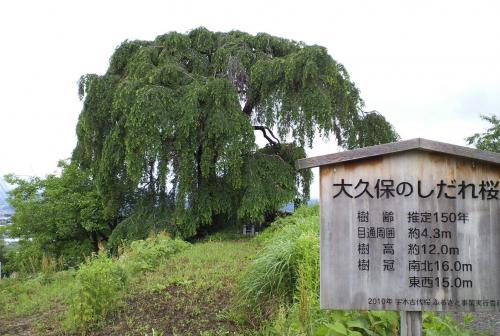 大久保のしだれ桜(26.6.12)