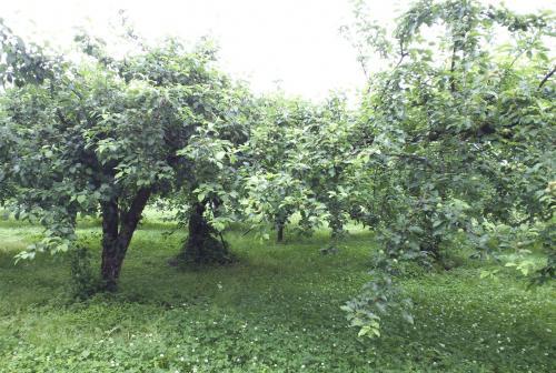 リンゴ畑(26.6.12)