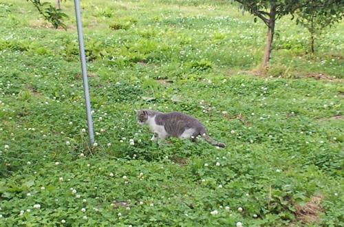 畑猫(26.6.17)