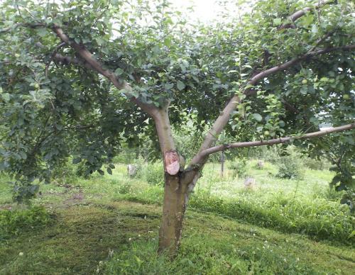 被害に遭った樹(26.6.30)