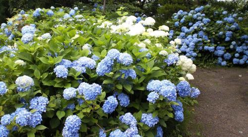 紫陽花庭園(26.7.3)