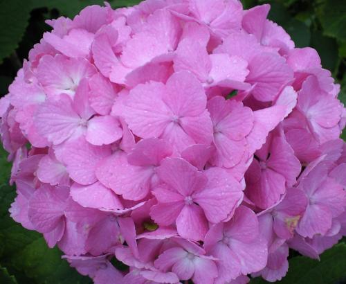 ピンクの紫陽花(26.7.3)