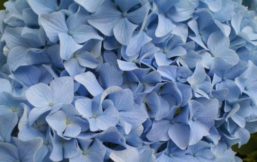 青の紫陽花アップ(26.7.3)