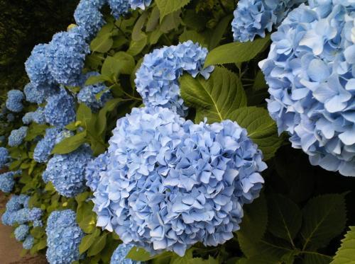 青の紫陽花たち(26.7.3)