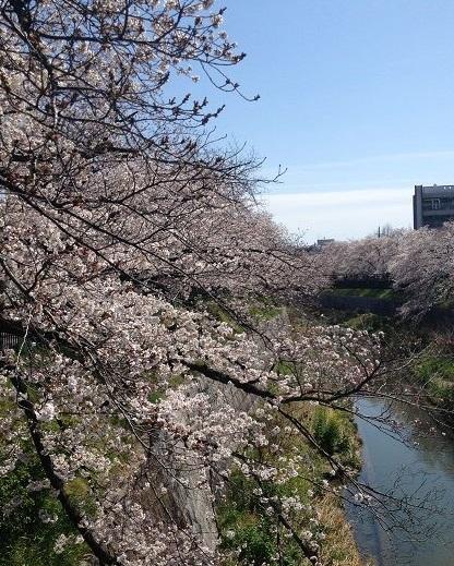 14年川と桜