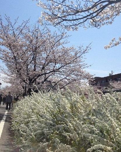 14年桜と雪柳