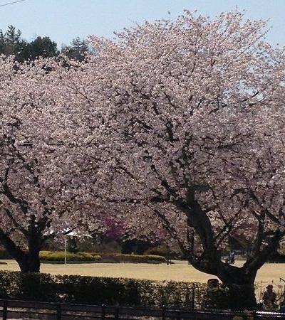 公園横の桜