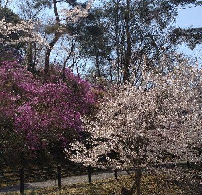 山ツツジと桜