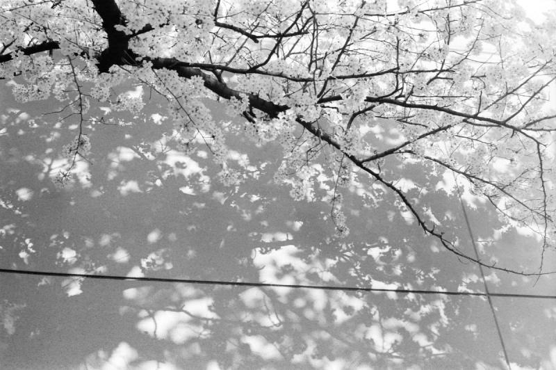 市井の桜1