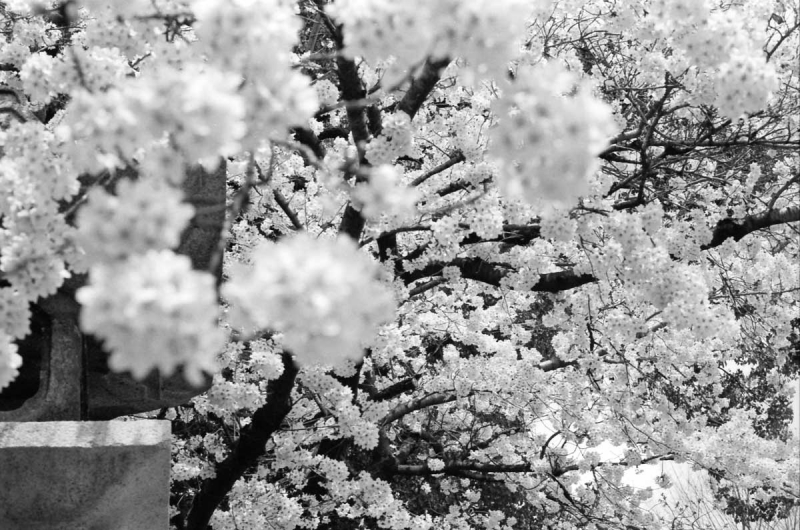 市井の桜2