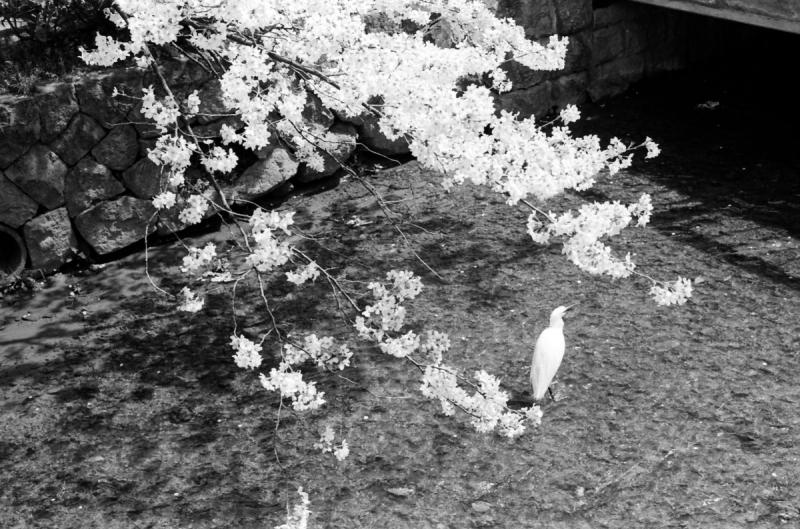 市井の桜 3