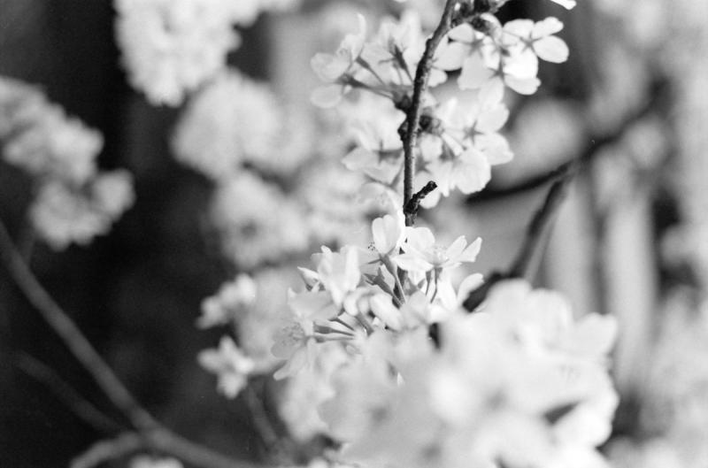 市井の桜4