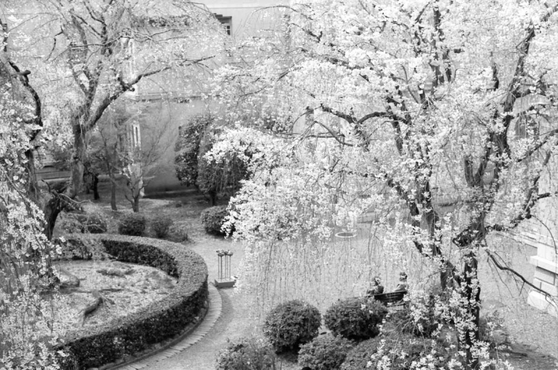 京都府庁 中庭の桜2