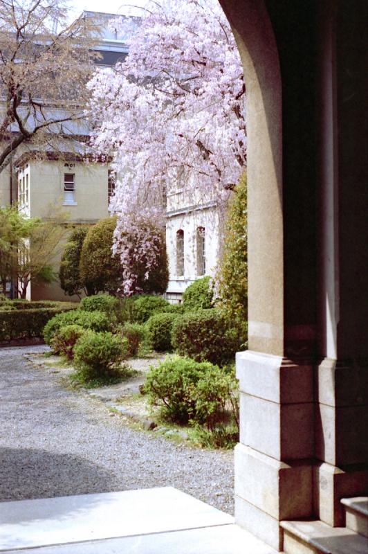 旧府庁 名残の桜