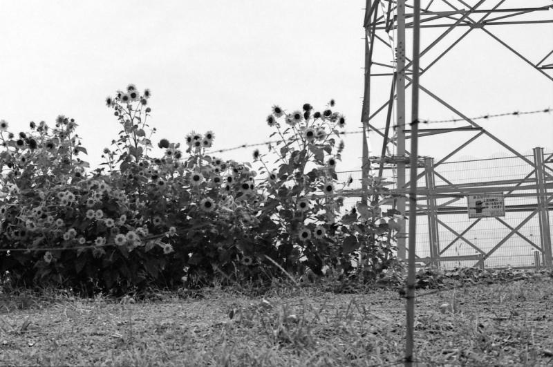 向日葵と鉄塔