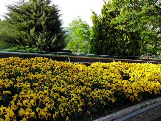 黄色パンジー