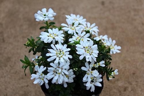 イベリス ホワイト 白花 Iberis sempervirens 出荷 生産 販売 松原園芸