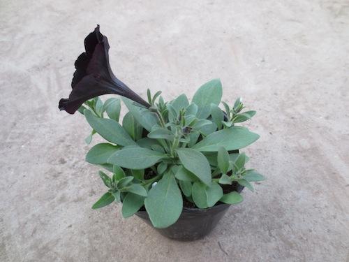 デボネア ブラックチェリー ペチュニア Petunia  生産 販売 松原園芸