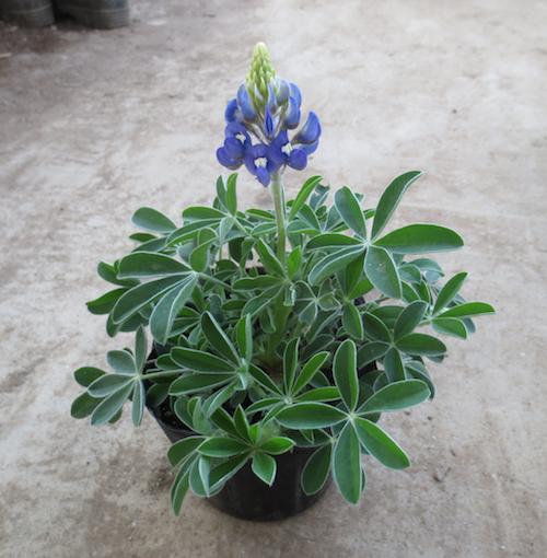 ルピナス ブルーボンネット Lupinus texensis 生産 販売 松原園芸 直売
