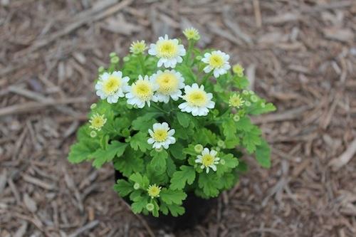 マトリカリア(キク科) サンタナイエロー Tanacetum parthenium 'Santana Yellow'  生産 販売 松原園芸 直売