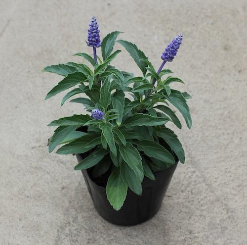 Salvia farinacea サルビア ファリナセア フェアリークイーン シラス ブルーサルビア(Blue salvia)ナナディープブルー  生産 販売 松原園芸 直売