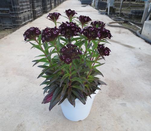 ダイアンサス スーティブラック 黒花ナデシコ  ヒゲナデシコ Dianthus barbatus nigrescens 'Sooty'   生産 販売 松原園芸 直売