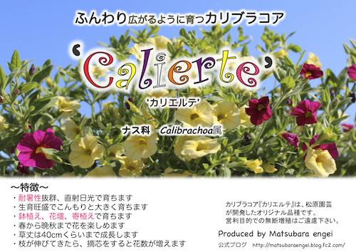 カリブラコア カリエルテ Calibrachoa Calierte  生産 販売 松原園芸 直売