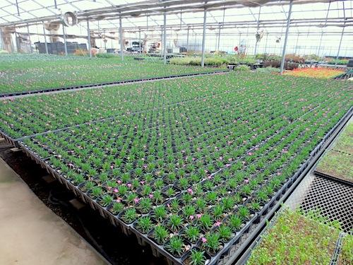 四季咲きナデシコ 香りナデシコ Dianthus  生産 販売 松原園芸 直売
