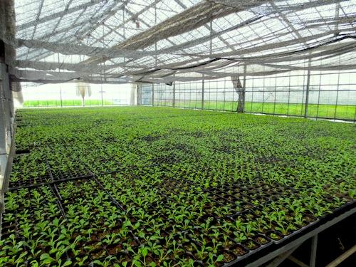 プリムラ ポリアンサ Primula 生産 販売 松原園芸 直売