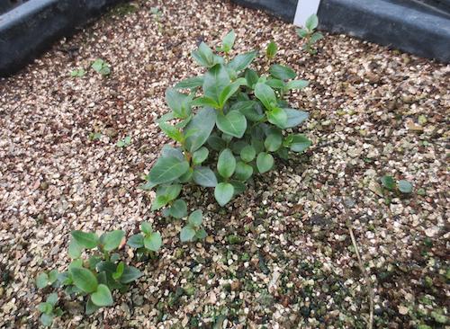 マンデビラ Mandevilla ディプラデニア (Dipladenia) 生産 種子 販売 松原園芸 直売