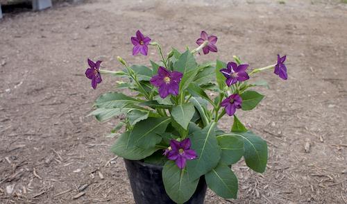 ニコチアナ パヒューム Nicotiana 生産 種子 販売 松原園芸 直売