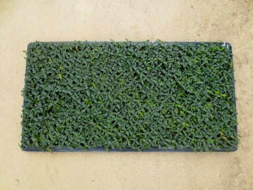 Bidens laevis ウィンターコスモス 生産 種子 販売 松原園芸 直売